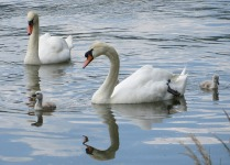 swans-408454_640