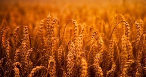 wheat-2380292_640