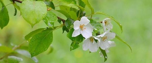 apple-tree-3491025_640